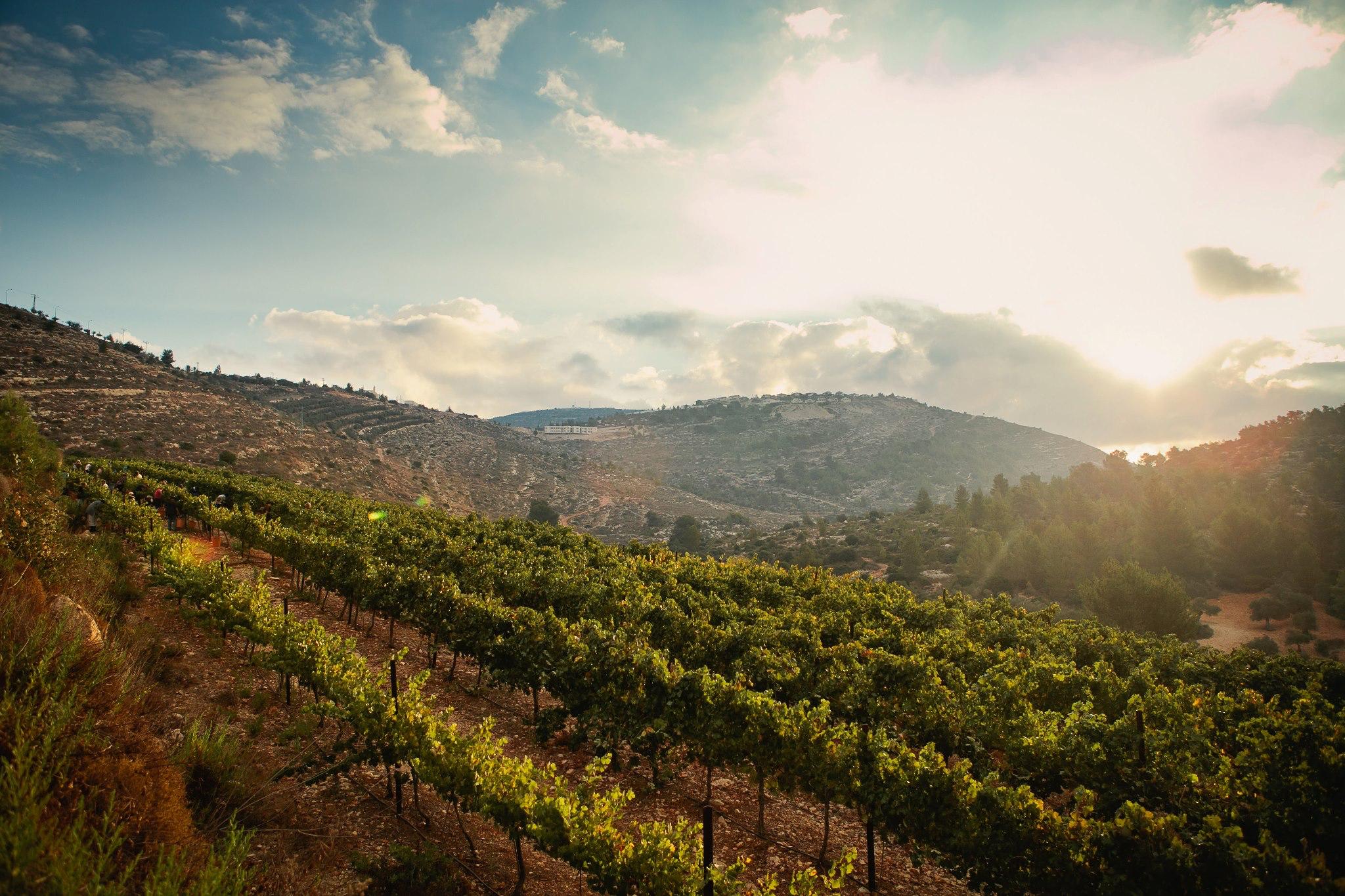 vineyardsamaria